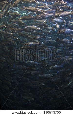 Fish School Shoal In Blue Ocean