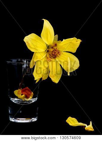 Withered lifeless dahlia flowers on a small glass and yellow petals on the ground isolated on a black background