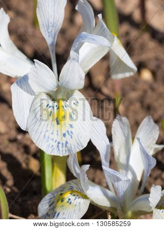 Delicate beautiful and unusual bulbs Dwarf Iris Katharine Hodgkin's blue-purple with yellow flecks appear in the garden in early spring