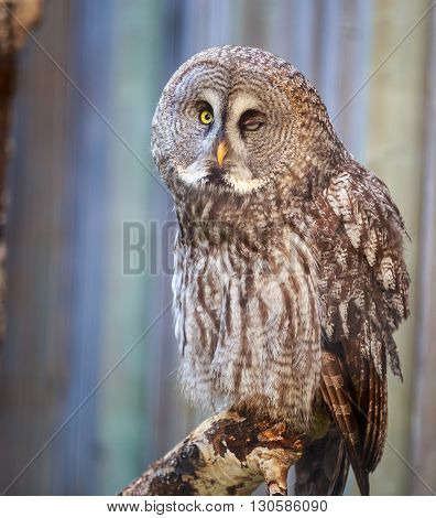 close up of winking gray owl on a tree