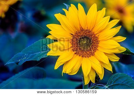 big yellow sun flower with green leaves