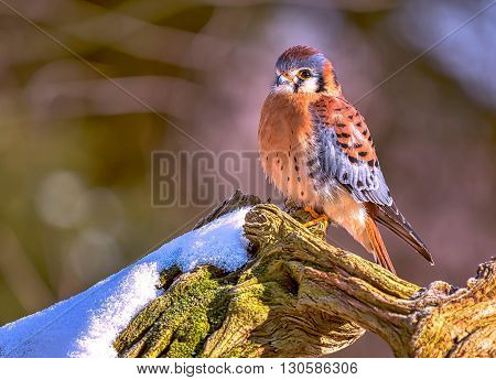 American Kestrel on a tree with snow