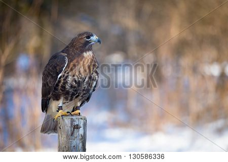 golden eagle close up on tree trunk