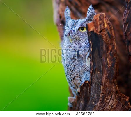 screech owl close up with green bokeh