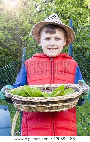 close up of child that collects salad in the vegetable garden