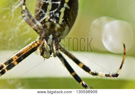 Venomous Predator Spider hangs on spiderweb and devours a maggot