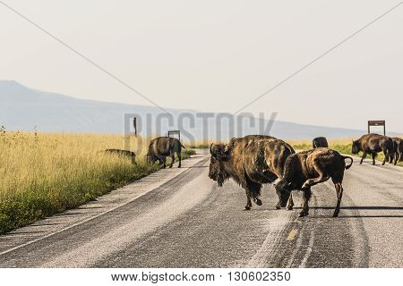 A female bison with her calf cross the road while grazing with other bison near Great Salt Lake in Utah, USA.
