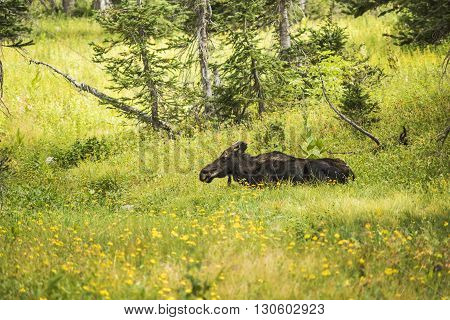 Moose relaxing by summer yellow wildflowers in a pine tree forest in Albion Basin by Salt Lake City, Utah