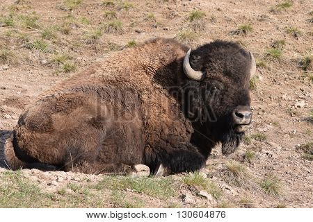 buffalo sits in it's wallow in the morning