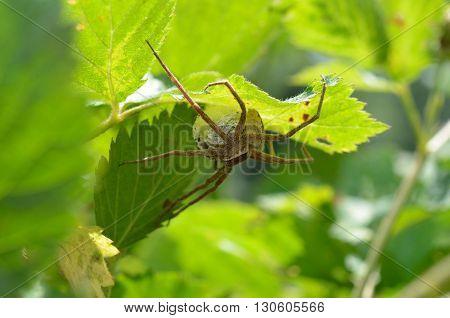 Large garden spider arachnid sitting on egg sac