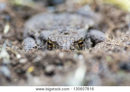 Common toad (Bufo bufo) partially buried in soil. Familiar amphibian hiding on ground with bright eyes visible