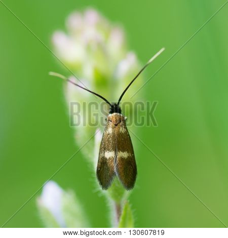 Cocksfoot moth (Glyphipterix simpliciella). Smallest British moth in the family Adelidae with pair of light blotches on each wing