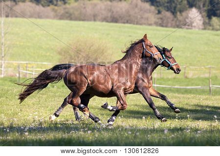 two Horses gallop free and make a race