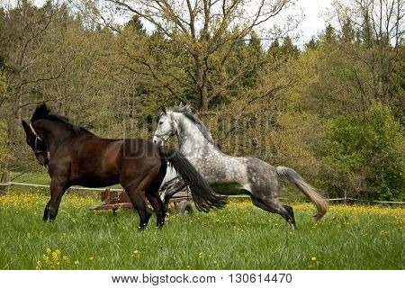 two horses play and run on paddock