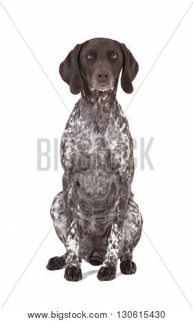 German Shorthaired Pointer Isolated