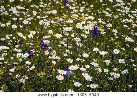 chamomile flowers in meadow as a background