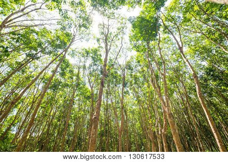 Rubber Tree Agricultural Background
