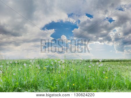Meadow covered tall grass and dandelions with ripe downy seed heads closeup against the sky with clouds
