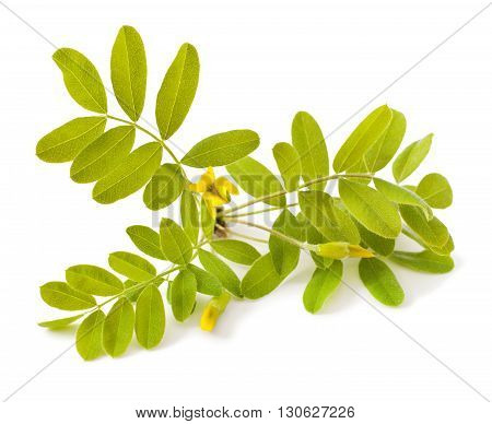 Yellow acacia (Caragana arborescens) on a white background