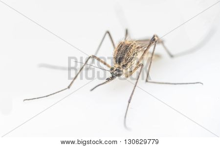 Mosquito on a white background, macro photo