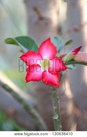 pink Adenium obesum flower in nature garden