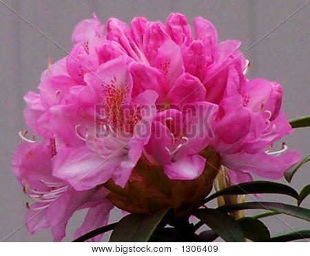Rhody Blossom/Pink
