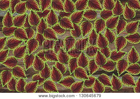 beautiful fresh Solenostemon scutellarioides leaves pattern  background