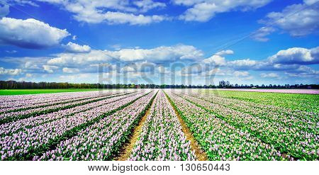 Magnificent field of tulips in Holland. Nice view.