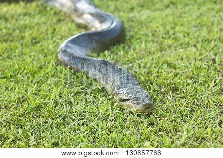 anaconda snake lying and sleeping on green grass