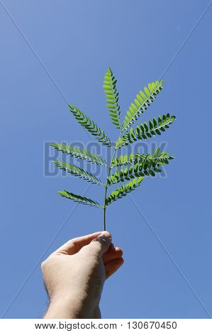 close up fresh green Leucaena glauca leaves on man hand