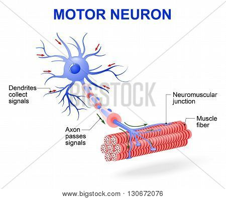 structure of motor neuron. Vector diagram. Include dendrites cell body with nucleus axon myelin sheath nodes of Ranvier and motor end plates. The impulses are transmitted through the motor neuron in one direction
