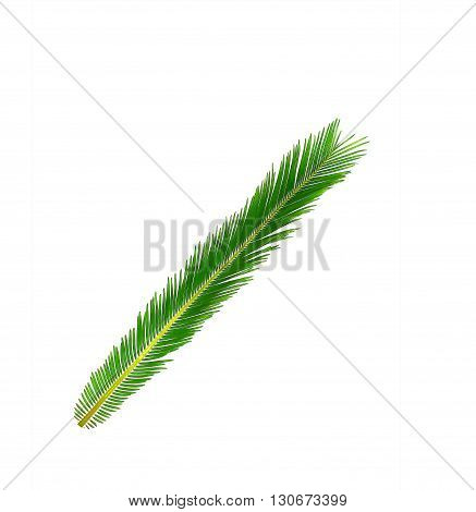 Green leaf of cycads tree isolated background