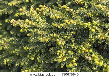Decorative low-growing coniferous dense shrub in the shape of a nest - Picea abies