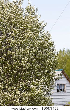 Blooming tree at their summer cottage - Saskatoon (Latin name Amelanchier.)
