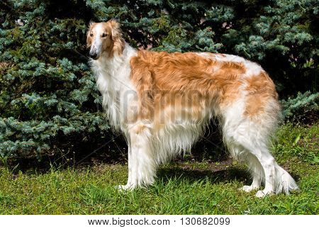Borzoi Russian brown. The Borzoi Russian dog is on the green grass.