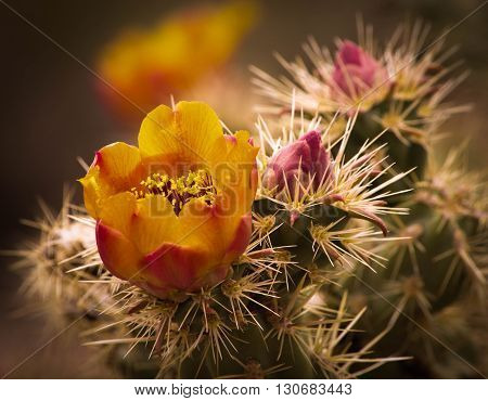 Booming Cactus full of pollen against long spines