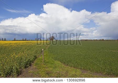 Oilseed Rape And Wheat Crops Under A Dramatic Sky