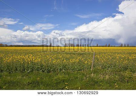 Dramatic Springtime Sky Over Oilseed Rape Crops