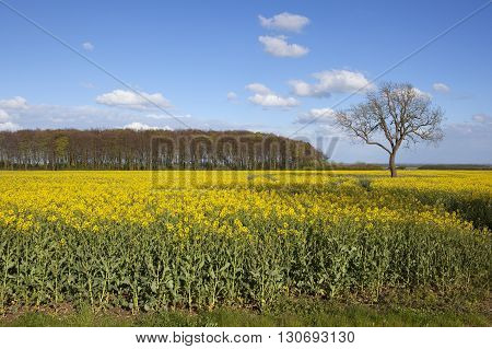 Oilseed Rape Crop In Flower With Woodlands