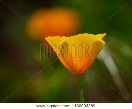 Isolated orange poppy in full bloom, wildflower Eschscholzia californica