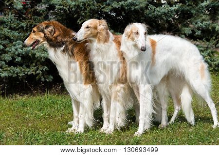 Borzoi Russian triad. The Borzoi Russian dog is on the green grass.