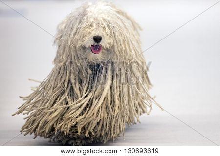 Rasta Poodle White Dog Coming To You
