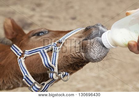 Foal Drinking From Bottle