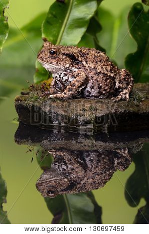 Common Toad (Bufo Bufo) on moss covered stone