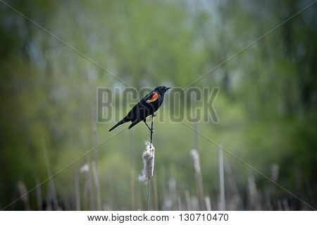 Red-winged blackbird parched on a cattail in the wetland