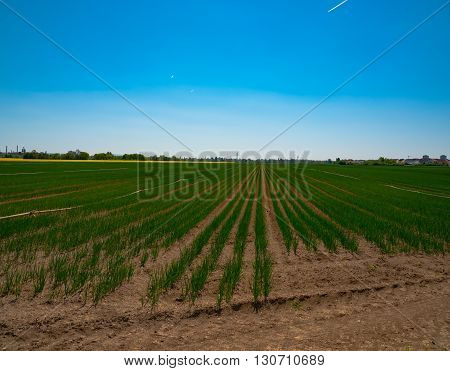 Agricultural field with onion in central Germany