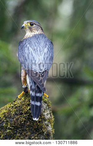 A Male Merlin looking over his shoulder