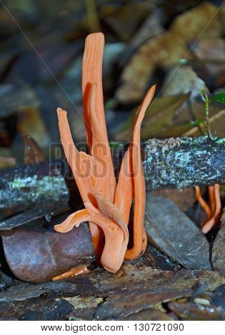 Orange coral fungi sprouting from the rainforest floor