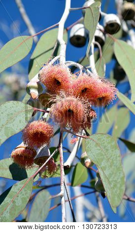 Pink gum tree (Eucalyptus) flowers being visited by bees