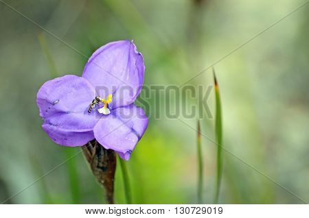 Australian native wildflower, the leafy purple flag iris (Patersonia glabrata), being pollinated by a small hover fly.